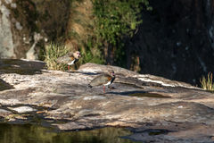 Gli uccelli del sud della pavoncella a Salto Ventoso parcheggiano - Farroupilha, Rio Grande do Sul, Brasile Immagine Stock