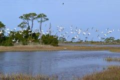 Gli uccelli dell'ibis sorvolano la palude Immagini Stock