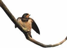 Gli uccelli dell'uccello inghiotte la seduta su un ramo su fondo bianco Immagine Stock