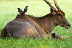 Gli uccelli della Buffalo hanno sceso sul retro di un'antilope immagini stock libere da diritti