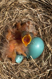 Gli uccelli di bambino aprono la bocca Fotografia Stock