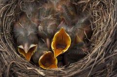 Gli uccelli di bambino aprono le bocche fotografia stock libera da diritti