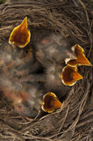 Gli uccelli di bambino aprono le bocche immagini stock libere da diritti
