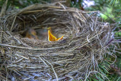 Gli uccelli di bambino in nido con le bocche si aprono Fotografia Stock