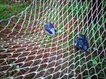 Gli uccelli di bambino sono caduto da un nido su un pino fotografia stock