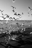 Gli uccelli di mare si affollano intorno ad alimento lasciato sulla banchina fotografia stock