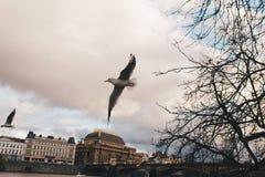 Gli uccelli di volo gull sul fondo del cielo in città europea fotografie stock