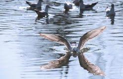 Gli uccelli diserba le ali un decollo della piuma per pilotare l'acqua una portata del becco fotografie stock