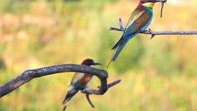 Gli uccelli esotici tengono un becco delle libellule colorate stock footage