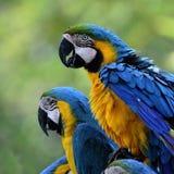 Gli uccelli gonfi dell'ara dell'Blu-e-oro che si siedono insieme al ot Immagini Stock
