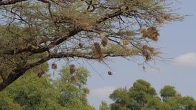 Gli uccelli hanno costruito i nidi all'estremità dei rami di albero per la protezione dai predatori archivi video