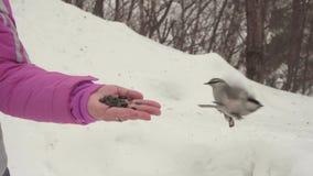 Gli uccelli in mano del ` s delle donne mangiano i semi stock footage