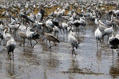 Gli uccelli migratori in una hula nazionale del santuario di uccello è situato in Israele nordico Immagine Stock Libera da Diritti