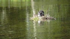 Gli uccelli Natatorial della folaga euroasiatica costruisce i nidi per i ptets Il atra euroasiatico del Fulica della folaga, anch stock footage