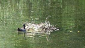 Gli uccelli Natatorial della folaga euroasiatica costruisce i nidi per i ptets Il atra euroasiatico del Fulica della folaga, anch video d archivio