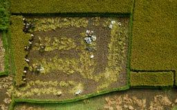 Gli uccelli osservano il riso Bali, Indonesia del campo del colpo immagine stock libera da diritti