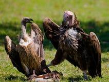 Gli uccelli predatori stanno combattendo a vicenda per la preda kenya tanzania Fotografia Stock