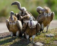 Gli uccelli predatori stanno sedendo sulla terra kenya tanzania Fotografia Stock Libera da Diritti