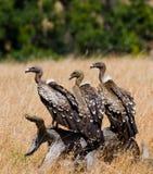 Gli uccelli predatori stanno sedendo sulla terra kenya tanzania Fotografia Stock