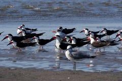 Gli uccelli raggruppano, Isla Juan Venado, Nicaragua Immagini Stock