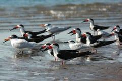 Gli uccelli raggruppano, Isla Juan Venado, Nicaragua Fotografia Stock