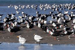 Gli uccelli raggruppano, Isla Juan Venado, Nicaragua Immagine Stock