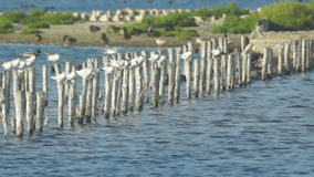 Gli uccelli roost sul lago in Pomorie, Bulgaria stock footage