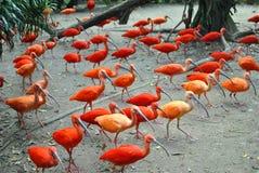 Gli uccelli rossi lungamente dicono Fotografia Stock Libera da Diritti
