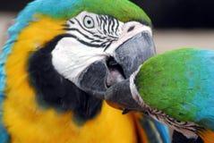 Gli UCCELLI si chiudono sulle are sudamericane nel comportamento alimentare immagini stock