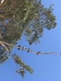 Gli uccelli si siedono sotto un cielo blu su un albero nevoso in Ucraina Fotografia Stock Libera da Diritti