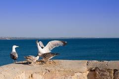 Gli uccelli stanno combattendo per il argentatus di larus dell'alimento fotografia stock