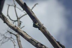 Gli uccelli stanno perforando gli alberi in natura fotografie stock