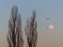 Gli uccelli volano accanto agli alberi alti ed alla luna piena fotografia stock libera da diritti