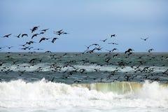 Gli uccelli volano sopra le onde Fotografia Stock