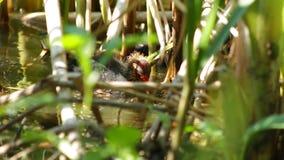 Gli uccellini implumi stanno cercando l'alimento archivi video
