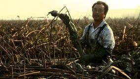 Gli uomini cinesi scavano fuori le radici di un loto è un'alta verdura del rendimento che si sviluppa in profondità nel limo yunn fotografie stock