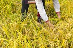 Gli uomini senior si sono vestiti in vecchi vestiti di ethno alla raccolta manuale del riso Fotografia Stock Libera da Diritti