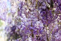 Glicínia colorida na flor fotografia de stock