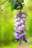 Glicínia de florescência que pendura do ramo Fotos de Stock Royalty Free