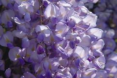 glicine紫罗兰 库存图片