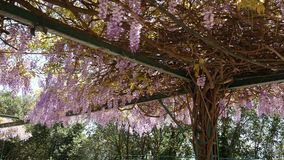 Glicine di fioritura dell'albero nel Montenegro, l'Adriatico e l'ostacolo archivi video