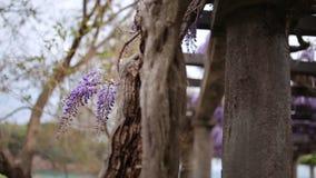 Glicine di fioritura dell'albero nel Montenegro, l'Adriatico e l'ostacolo video d archivio