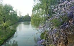 Glicine e salici piangenti dal fiume fotografie stock