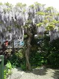 Glicine in fioritura Immagini Stock Libere da Diritti