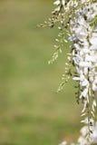 Glicinia blanca con el fondo verde Fotos de archivo