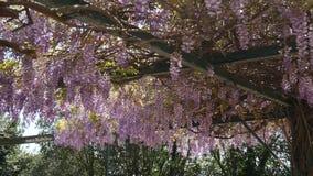 Glicinia del árbol floreciente en Montenegro, el Adriático y el obstáculo