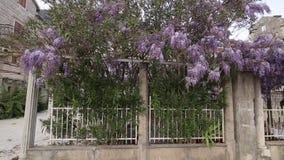 Glicinia del árbol floreciente en Montenegro, el Adriático y el obstáculo metrajes