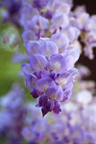 Glicinia en el jardín de la primavera Fotografía de archivo libre de regalías