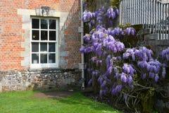 Glicinia en la abadía de Mottisfont, Hampshire, Inglaterra Foto de archivo libre de regalías