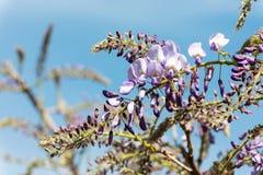 Glicinia floreciente contra el cielo azul Fotos de archivo